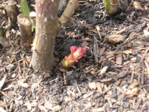PHOTO: A rose with new spring growth.