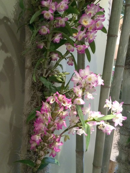PHOTO: Dendrobium orchids fill bamboo supports.