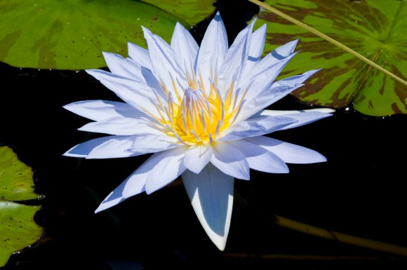 PHOTO: Nymphaea 'Pamela'.