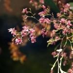 PHOTO: Oncidium Twinkle 'Red'
