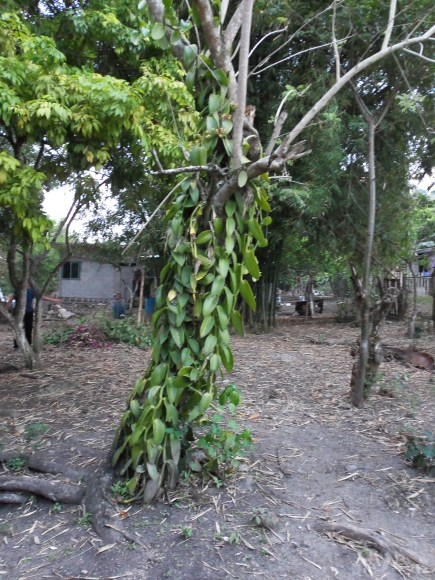 PHOTO: Many vanilla plantations use man-made structures for the vining orchids. Here, an old tree provides support to this orchid.