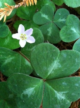 PHOTO: Redwood sorrel.