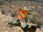 This globemallow is a native winner that braved hot, dry conditions to flower and produce seed in southern Utah.