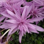 PHOTO: Colchicum 'Waterlily'.