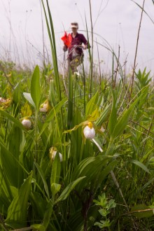 PHOTO: The beautiful Cypripedium candidum, one of the many rare plants Plants of Concern monitors.