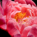 PHOTO: Paeonia CORAL AND GOLD.