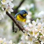 PHOTO: Northern parula warbler.