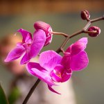 PHOTO: Closeup of one of thousands of Phalaenopsis in the exhibition.