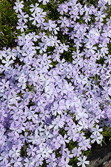 PHOTO: Phlox subulata 'Emerald Blue'.