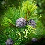 Pinus cembra 'Blue Mound'