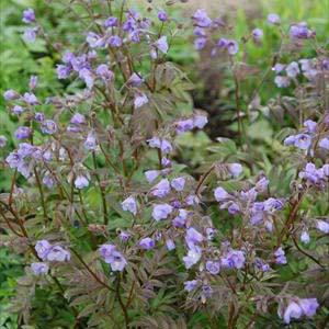 PHOTO: Polemonium reptans 'Heaven Scent'