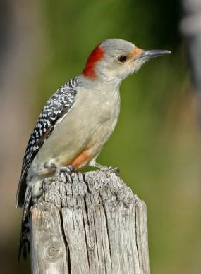 Female red-bellied woodpecker.