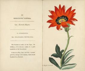 ILLUSTRATION: Rigid-leaved Gorteria (Gorteria rigens).
