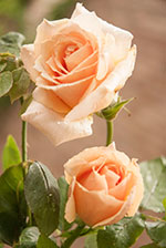 Rose (Rosa 'Medallion')