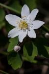 False rue-anemone (Isopyrum biternatum) ©Carol Freeman