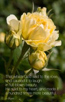 PHOTO: Walking on Sunshine floribunda rose (Rosa 'JACmcady')