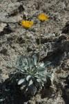 The silverleaf soil grows in a gypsum-rich soil.