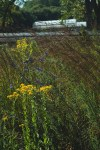 Salvia azurea, Solidago rigida, Andropogon gerardii