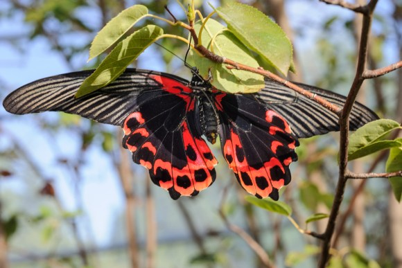 PHOTO: Scarlet Mormon (Papilio rumanzovia). Photo by Bill Bishoff.