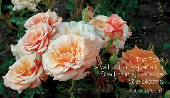 PHOTO: Singin' in the Rain floribunda rose (Rosa 'MACivy')