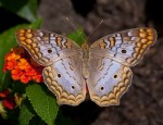 Snow Peacock (Anartia jatrophae)