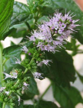 PHOTO: Spearmint in bloom.