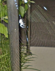 PHOTO: Spiderweb silk is used by hummingbirds as a nest liner.