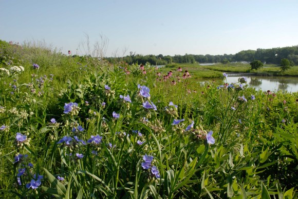 Spiderwort (Tradescantia 'Sweet Kate') and coneflowers bloom on the Prairie.