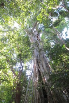 PHOTO: A view up into an enormous strangler fig.