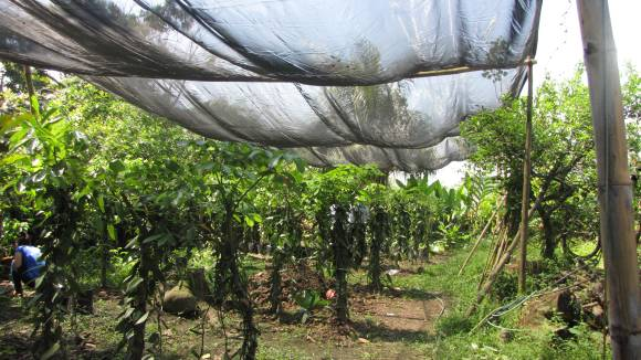 PHOTO: A length of canopies shields the growing vanilla orchids from harsh direct sunlight.