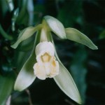 PHOTO: Vanilla planifolia (vanilla orchid) in bloom.