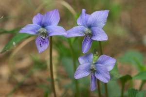 PHOTO: Arrowleaf violet (Viola sagittata)