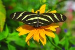 Zebra longwing butterfly (Heliconius charitonius)
