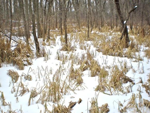 PHOTO: Lake sedge in winter.