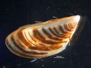 Adult zebra mussel (Dreissena polymorpha).