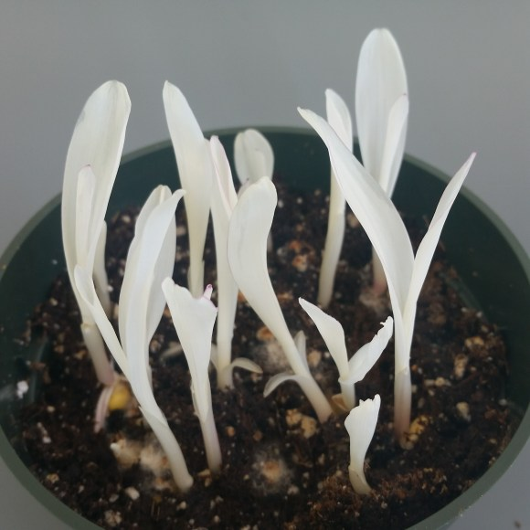 PHOTO: Ten white corn seedlings are a few inches tall.