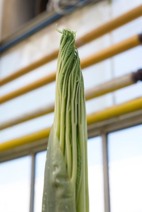 PHOTO: The emerging Amorphophallus titanum plant looks leafy, unlike the smooth spadix which emerges from a flower bud.