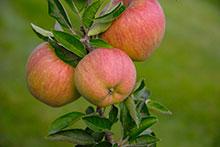 PHOTO: apples.