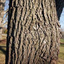 Black walnut (Juglans nigra) bark.