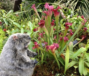 PHOTO: Botanical Bill enjoys some pitcher plants.