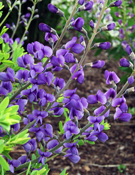 PHOTO: Blue Mound false indigo.