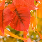 Fall Color(ing) Activity