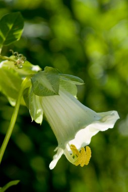 PHOTO: A blooming hops vine.