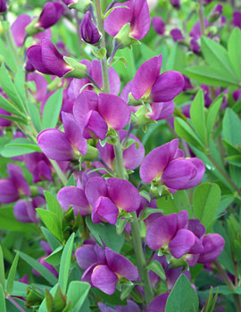 PHOTO: Lavender Rose false indigo.