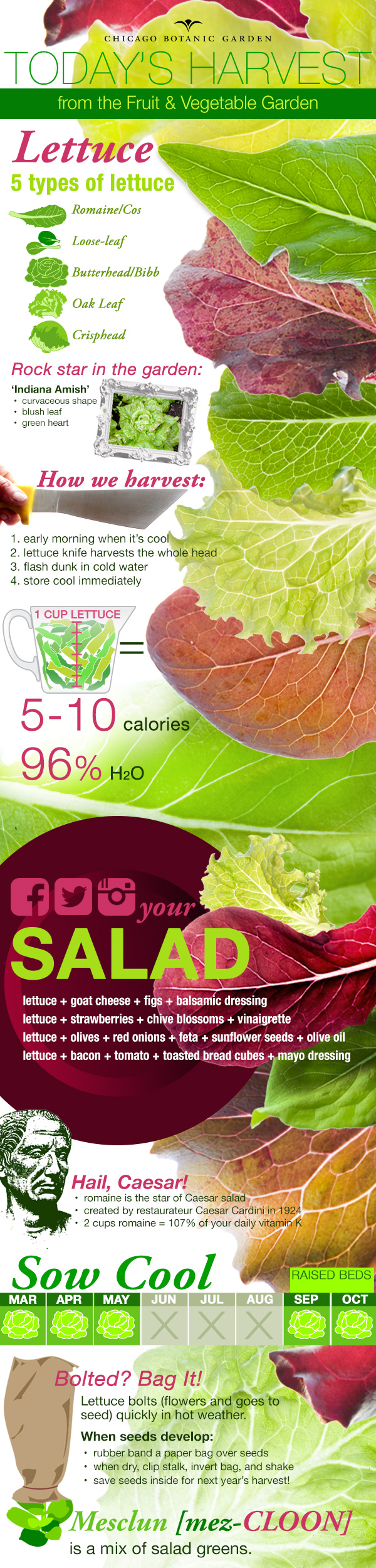 Infographic on cultivating and harvesting lettuce.