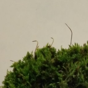PHOTO: Moss reproductive structures.