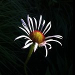 PHOTO: Echinacea.
