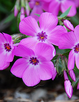 PHOTO: Pink Profusion phlox.