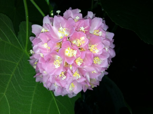 PHOTO: Pinkball dombeya (Dombeya wallichii)