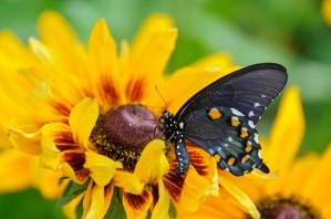 PHOTO: side view of the Pipevine Swallowtail butterfly.